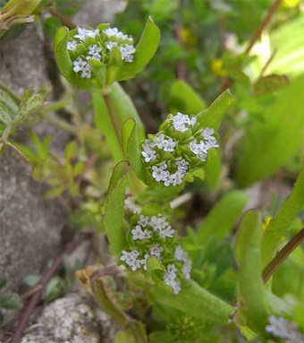 Valerianellalocusta4