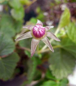Rubusssp2