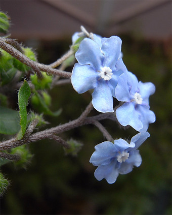 Omphalodesjaponica1