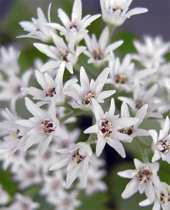 Aceriphyllumrossii1