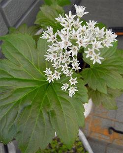 Aceriphyllumrossii2