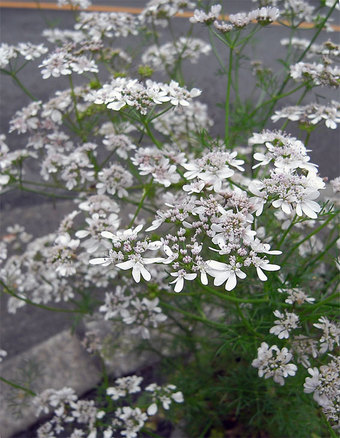 Orlayagrandiflora7