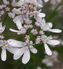 Orlayagrandiflora8