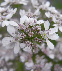 Orlayagrandiflora9