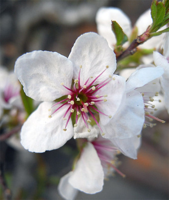 Prunusglandulosa1
