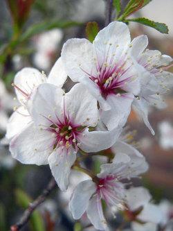 Prunusglandulosa2
