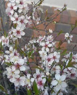 Prunusglandulosa3
