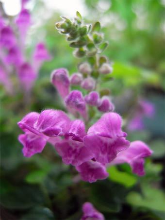 Scutellariaindicar3