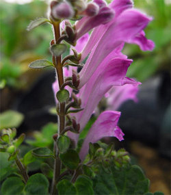 Scutellariaindicar4
