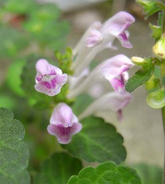 Scutellariaindicar5