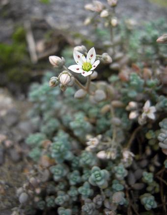Sedumdasyphyllum4