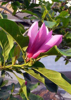 Magnoliaquinquepeta1