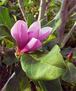 Magnoliaquinquepeta2