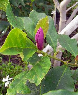 Magnoliaquinquepeta3