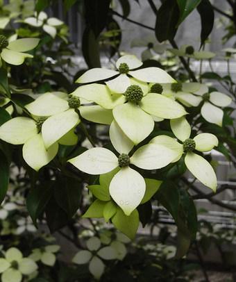 Cornushongkongensis10