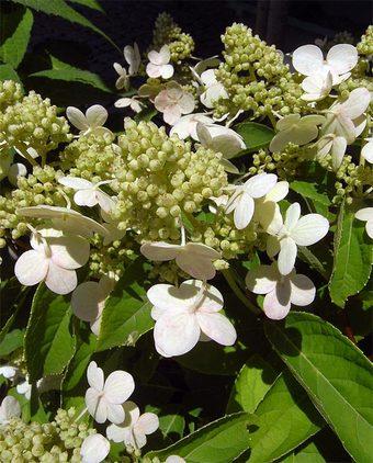 Hydrangeapaniculata3