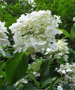 Hydrangeapaniculata4