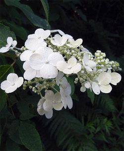 Hydrangeapaniculata5