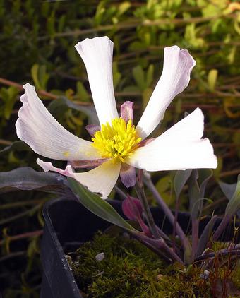 Ranunculuscalandrinioides1