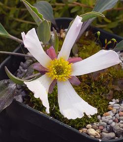 Ranunculuscalandrinioides4