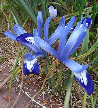 Irisreticulata1