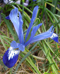 Irisreticulata2