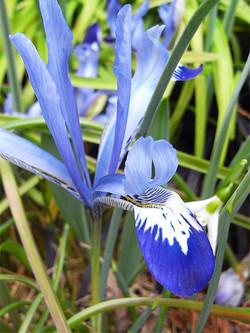 Irisreticulata3