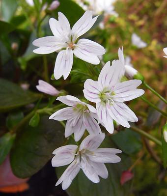 Claytoniasibirica1