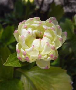Ranunculussally2