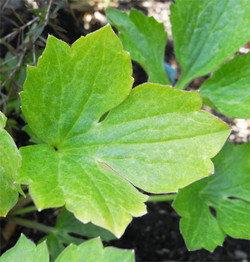 Ranunculussally4