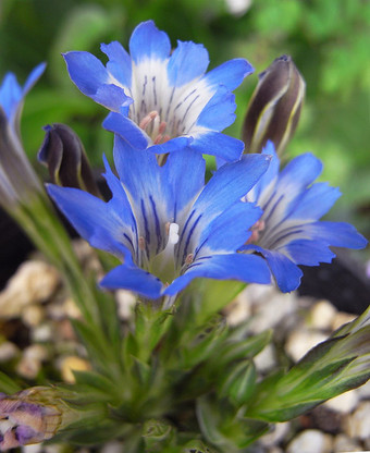 Gentianathunbergii1