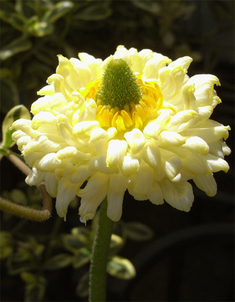 Ranunculusarachnejr1_2