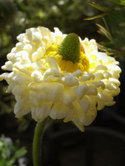 Ranunculusarachnejr3