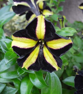 Blackvelvetpetunia3