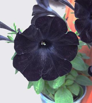 Blackvelvetpetunia4