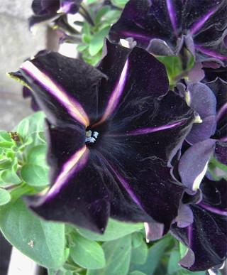 Blackvelvetpetunia5