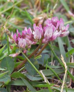 Trifoliumrepens3