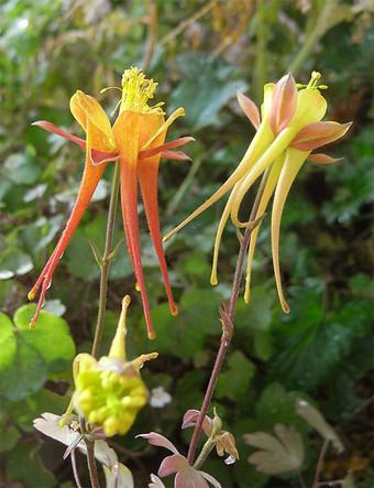 Achrysantha1