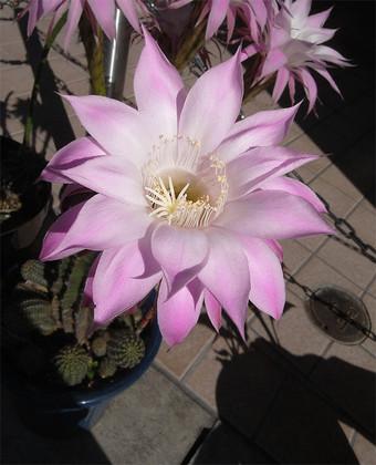 Echinopsiseyriesii1
