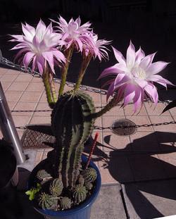 Echinopsiseyriesii2_2