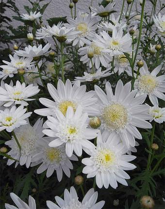 Argyranthemumfrutescens4