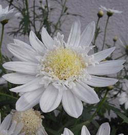 Argyranthemumfrutescens5