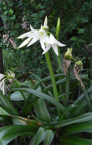 Crinumbulbispermum1