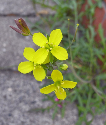 Diplotaxistenuifolia1