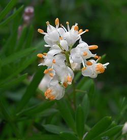 Asparagusaethiopicus2