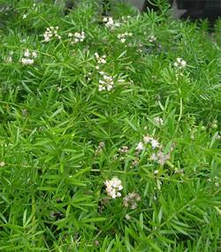 Asparagusaethiopicus3