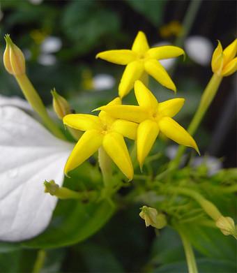 Mussaendparviflora3