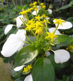 Mussaendparviflora4