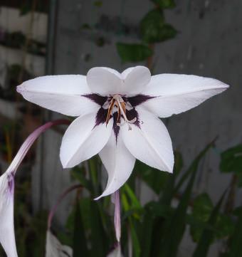 Gladiolusmurielae1