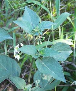 Solanumnigrum8